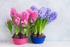 Conceito de jardinagem com as flores frescas do jacinto Imagem de Stock
