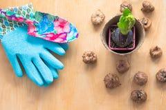 Conceito de jardinagem Jacinto da plântula, ferramentas de jardim, tesouras, guita, saco de papel de compra, tipo de flor dos tub Imagens de Stock