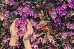 Conceito de tomar da natureza e do açafrão selvagens Fotos de Stock Royalty Free