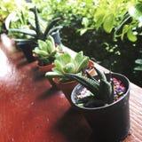 Conceito de Vera Growing Botany Nature Environmental do aloés fotografia de stock royalty free