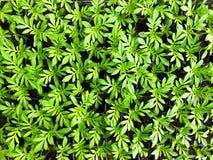 Conceito do ambiente, licença verde do cravo-de-defunto foto de stock