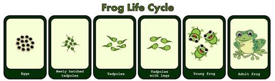 Conceito do ciclo de vida da rã ilustração royalty free