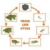 Conceito do ciclo de vida da rã ilustração do vetor