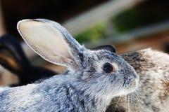 Conceito do coelhinho da Páscoa Coelho bonito pequeno, animal de estimação cinzento macio foco macio, profundidade rasa do espaço foto de stock