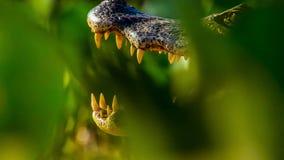 Conceito do jacaré ou do crocodilo Olho do jacaré e dos dentes na cabeça O olho é cor bonita dourada brilhante O crocodilo é peri imagem de stock