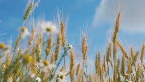 Conceito do pão e da agricultura A colheita do trigo balança no campo contra o céu azul Ondas ambarinas da grão do trigo que fund filme