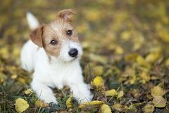 Conceito do treinamento do animal de estimação - cão de cachorrinho feliz bonito que olha na grama foto de stock