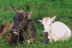 Conceito dos Valentim Humble a vaca feliz e o touro que vivem o simples fotos de stock