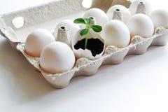 Conceito easter Broto frágil delicado como o símbolo da renovação e do desejo para a vida entre os ovos brancos na caixa de cartã foto de stock royalty free