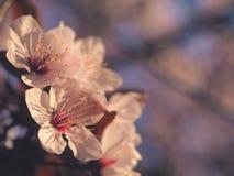 Conceito floral da mola Completamente florescência da árvore de abricó Flor bonita em um fundo borrado sumário Close up detalhado fotografia de stock royalty free