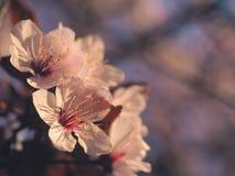 Conceito floral da mola Completamente florescência da árvore de abricó Flor bonita em um fundo borrado sumário Close up detalhado fotografia de stock