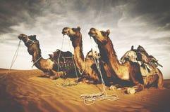 Conceito indiano da cultura do deserto de Reating dos camelos fotografia de stock