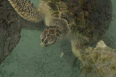 Conceito pequeno pequeno debaixo d'água doente da natureza da tartaruga de mar Imagens de Stock