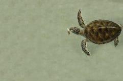 Conceito pequeno pequeno debaixo d'água doente da natureza da tartaruga de mar Fotos de Stock Royalty Free