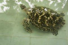 Conceito pequeno pequeno debaixo d'água doente da natureza da tartaruga de mar Imagem de Stock Royalty Free