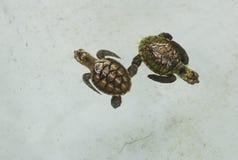 Conceito pequeno pequeno debaixo d'água doente da natureza da tartaruga de mar Imagens de Stock Royalty Free
