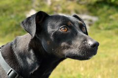 Concentração do cão Imagem de Stock Royalty Free