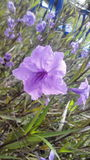 Concentración de la violeta Fotos de archivo libres de regalías