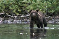 Concentración del oso fotografía de archivo libre de regalías