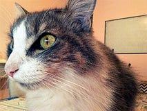 Concentración felina Fotografía de archivo