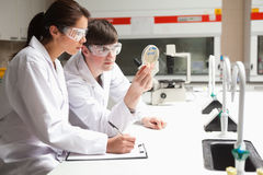 Concentrate students in science looking. At a Petri dish in a laboratory Royalty Free Stock Images