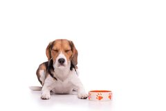 Concentrated Beagle, isolated Stock Photography