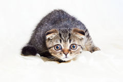 Concentrated Scottish Fold Kitten Ready To Jump. A cute concentrated tabby Scottish Fold kitten ready to jump, on white background Royalty Free Stock Photos