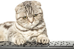 Concentrated serious striped cat Scottish Fold works sitting at a computer. And typing on keyboard on isolated white background royalty free stock photos
