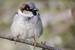 Concentrated sparrow Royalty Free Stock Photography