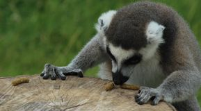 Concentrating Lemur Royalty Free Stock Images
