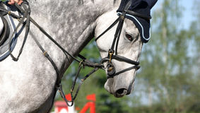 Concentration. Detailled capture of a horse during a showjumping event stock photo