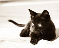 Concentration. Black kitten concentrating on prey Royalty Free Stock Photo