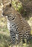 Concentration Leopard-style Stock Photography