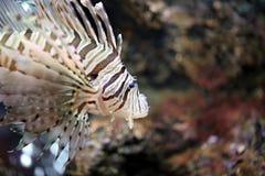 Concentreer Lionfish en gevaarlijk Stock Afbeeldingen