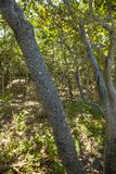 Tree Bark with Sapsucker holes royalty free stock image