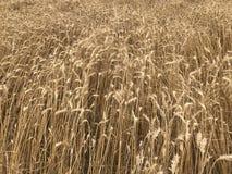 Concep stagionale naturale giallo dorato di agricoltura del raccolto di festa dello shavuot del fondo del giacimento di grano Immagini Stock