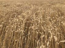Concep stagionale naturale giallo dorato di agricoltura del raccolto di festa dello shavuot del fondo del giacimento di grano Fotografia Stock Libera da Diritti