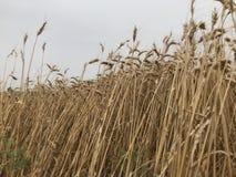 Concep stagionale naturale giallo dorato di agricoltura di festa dello shavuot del giacimento di grano e del fondo del cielo Fotografia Stock Libera da Diritti