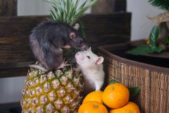The concept of abundance and wealth. White mouse with fruit. Gray rat with food. Decorative animals stock image