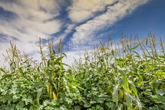 Field with ripening corn in the Negev desert, Israel. Concept of advanced agriculture in desert areas of the Middle East Royalty Free Stock Photo