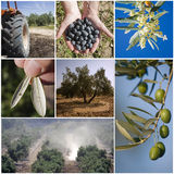 Concept of agriculture of the olive tree Royalty Free Stock Image