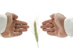 Concept of alternative healing. Male hand around wheat ear. Concept of alternative healing Royalty Free Stock Photography