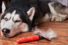 Concept annual molt, coat shedding, moulting dogs. Siberian husky lies on wooden floor next to red rakers brush. stock photos