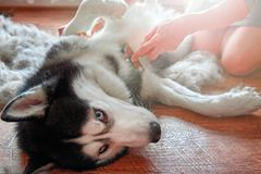 Concept annual molt, coat shedding, moulting, hygiene and care for pets. Girl owner combs wool Siberian Husky. royalty free stock image