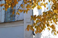 Concept of autumn in an old town. Branch of tree with golden foliage on the background of a white old wall Stock Photos