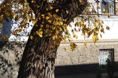 Concept of autumn in an old town. Sunlit tree and yeallow foliage on the background of a white old wall Stock Photos