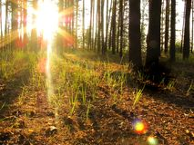 Dawn on a forest glade sunshine with a young grass stock images