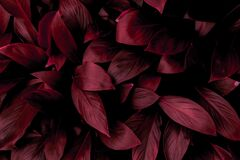 The concept of betel leaves with purple leaves, abstract, tropical leaves