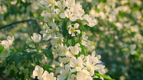 Concept blossoming and renewal. Blooming apple tree in spring, fresh white flowers. stock video
