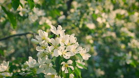 Concept blossoming and renewal. Blooming apple tree in spring, fresh white flowers. stock video footage